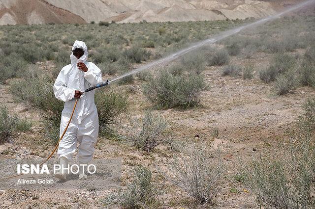 مصرف 50 تن سم برای نابودی ملخ های بوشهر