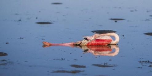 علت مرگ و میر پرندگان زمستان گذران در سواحل استان گلستان معین شد